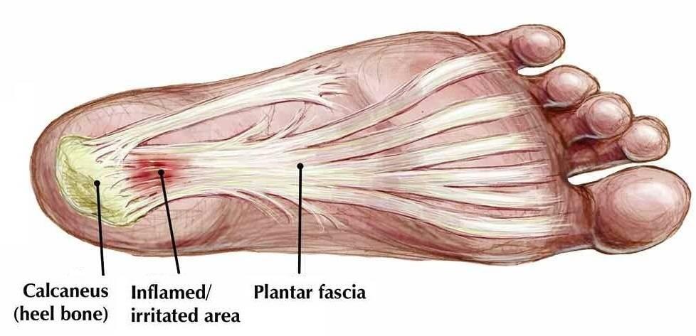 plantar fascia foot anatomy