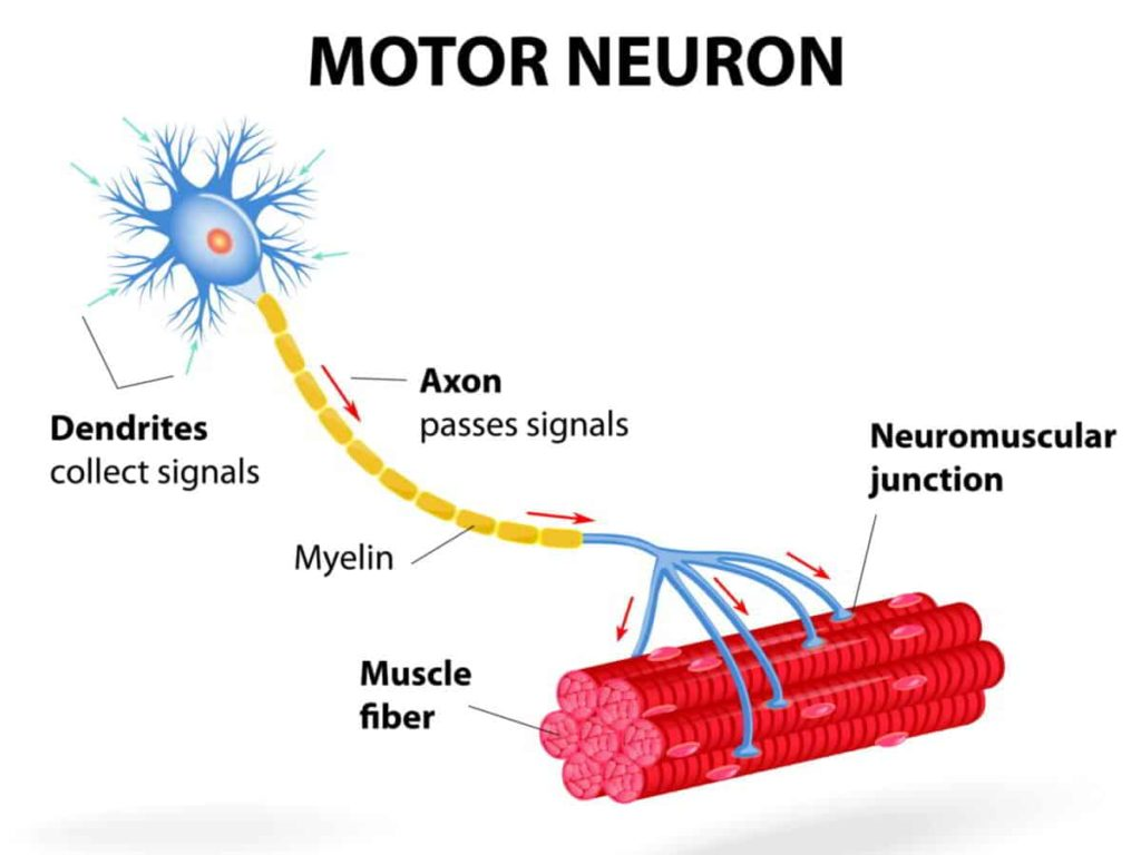 nerve muscle connection