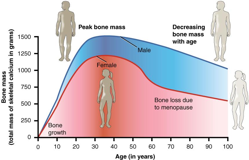 bone mass comparison male female