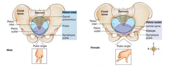male female pelvis comparison