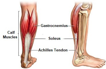gastrocnemius muscle anatomy
