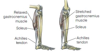 soleus muscle targeting exercises